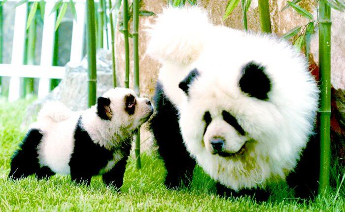 Chow Chow Panda to nic innego jak pies poddany zabiegom fryzjerskim.