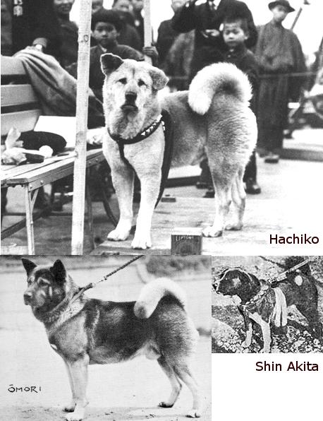 "słynna Akita ""Hachiko"" (Ciekawostki) oraz Shin Akita (Historia rasy)"