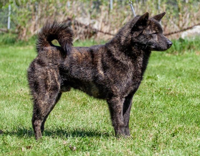 """czarny pręgowany - Besmiras First Wolf Boy """"Kai"""", wł. hodowla Besmira"""